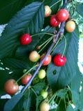 樱桃隔离甜白色 库存图片
