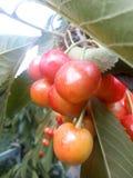 樱桃隔离甜白色 图库摄影