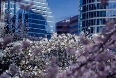樱桃绽放在城市 免版税库存图片