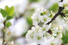 樱桃绽放 库存图片