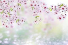 樱桃blosoms 库存图片