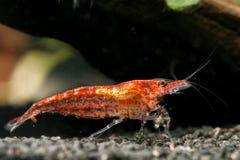 樱桃denticulata neocaridina红色虾 免版税库存照片