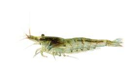 樱桃heteropoda neocaridina虾 库存图片