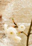 樱花。佐仓 免版税图库摄影