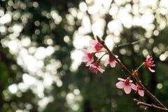 樱花关闭在被弄脏的背景 免版税库存图片