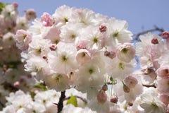 樱花关闭 库存图片