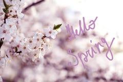 樱花分支有美丽的白花的 免版税库存图片