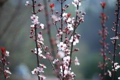 樱花分支9 库存图片