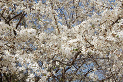 樱花分支 图库摄影