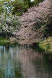 樱花反射 免版税库存图片