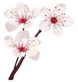 樱花向量 免版税库存照片