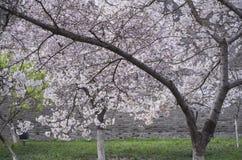 樱花和古城墙壁 免版税库存图片