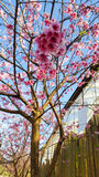 樱花和天空 免版税库存图片