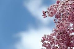 樱花和蓝天 免版税库存照片