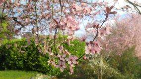樱花和蓝天 图库摄影