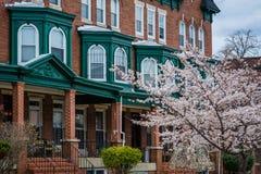 樱花和行格住宅在卡尔弗特街上在查尔斯村庄,巴尔的摩,马里兰 库存照片