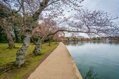 樱花和走道沿潮水坞,在华盛顿特区, 库存照片
