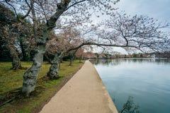 樱花和走道沿潮水坞,在华盛顿特区, 图库摄影