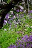 樱花和紫色春天开花在Chidorigafuchi护城河,千代田,东京,日本 库存图片