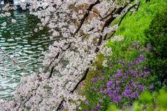 樱花和紫色春天开花在Chidorigafuchi护城河,千代田,东京,日本 免版税库存图片