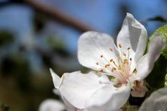 樱花在一晴朗的秋天天 免版税库存图片