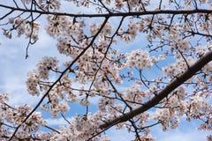 樱花在东京春天 图库摄影