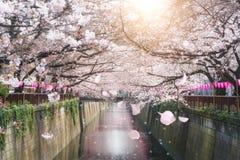 樱花在东京,日本排行了Meguro运河 春天 免版税库存照片