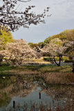 樱花在东京,日本 库存图片