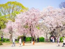 樱花在大阪 免版税库存照片
