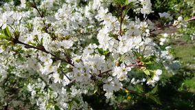 樱花在庭院里 股票视频
