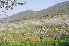 樱花在意大利小山的春天开花 免版税库存照片