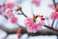 樱花在日本 免版税图库摄影