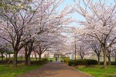 樱花在日本 库存照片