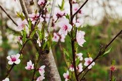 樱花在早期的春天 库存图片