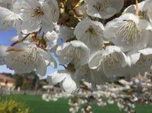 樱花在春天 免版税库存图片