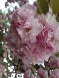 樱花在春天 免版税库存照片