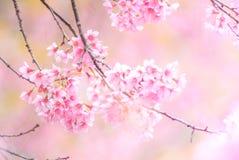 樱花在有软的焦点的春天 免版税库存照片