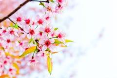 樱花在清迈,泰国 免版税图库摄影