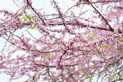 樱花在背景的春天 免版税库存图片