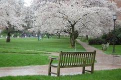 樱花在西雅图华盛顿大学 免版税库存照片