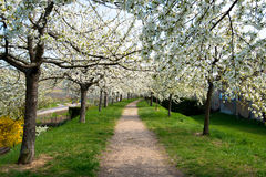 樱花在阿尔萨斯 库存图片