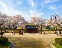 樱花在韩国传统公园 库存图片