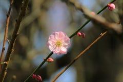 樱花在香港 库存图片