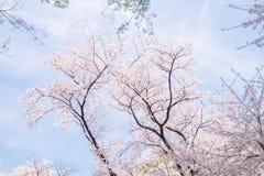 樱花场面 库存图片