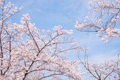 樱花场面 图库摄影