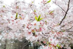 樱花场面 免版税图库摄影