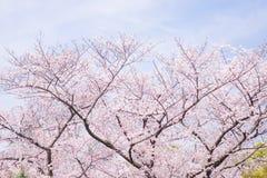 樱花场面 库存照片