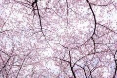 樱花场面 免版税库存照片