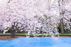 樱花场面 免版税库存图片