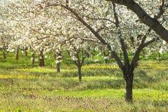 樱花天堂明亮的太阳和领域与自然温暖的概念 免版税库存照片
